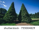 Thuja trees in the park