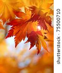 Autumnal Maple Leaves In...
