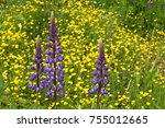 flowers lupine and buttercups... | Shutterstock . vector #755012665