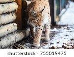 lynx on the snow   Shutterstock . vector #755019475