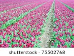 field with colorful tulips - stock photo