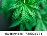 marijuana leaves  cannabis on a ...   Shutterstock . vector #755039191