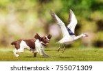 english springer spaniel dog... | Shutterstock . vector #755071309