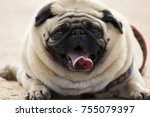 cute little pug puppy | Shutterstock . vector #755079397