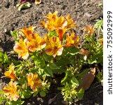 dazzling princess lilies ... | Shutterstock . vector #755092999