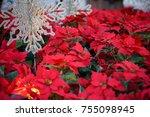 Red Poinsettia. Christmas...