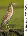 squacco heron on a branch near... | Shutterstock . vector #75513403