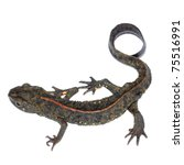 animal chinese salamander - stock photo