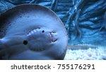 Small photo of Sting ray in aquarium