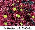 closeup wine red  mum or...   Shutterstock . vector #755269021