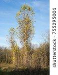 uncultivated tall poplar trees...   Shutterstock . vector #755295001
