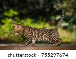 Stock photo gold bengal kitten walk on plank outdoor side view nature green background 755297674