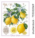 botanical lemon. watercolor | Shutterstock . vector #755332069