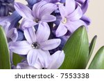 detail of hyacinth | Shutterstock . vector #7553338