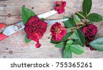 dry faded  red roses spray on... | Shutterstock . vector #755365261
