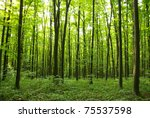 sunlight in the green forest ... | Shutterstock . vector #75537598