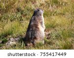 Marmoted Alpine In The Gran...