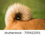 Stock photo presentation of the coiled tail of an adult male shiba inu dog 755422351