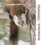 Small photo of Pine marten (Martes americana) on a snow covered tree branch in Algonquin Park