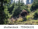 wisent herd in the forests of... | Shutterstock . vector #755426131