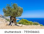 ancient olive tree with hollow... | Shutterstock . vector #755436661