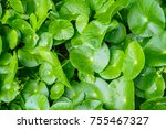 herbal medicine leaves of... | Shutterstock . vector #755467327