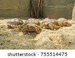 close up african spurred... | Shutterstock . vector #755514475