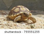 close up african spurred... | Shutterstock . vector #755551255