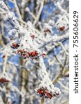 Rowan Berries With Hoarfrost O...