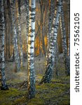 Bare birch trees at sunset in spring - stock photo