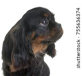 puppy cavalier king charles in... | Shutterstock . vector #755636374