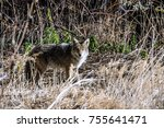 coyote standing in brush | Shutterstock . vector #755641471