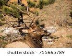 bull elk closeup laying in... | Shutterstock . vector #755665789