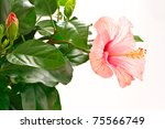 flowered hibiscus flower isolated on white background - stock photo