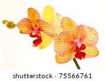 phalaenopsis flowers on a white background - stock photo