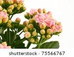 pink kalanchoe flowers isolated on white background - stock photo