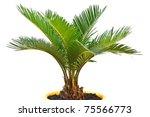 sago palm tree isolated on white background - stock photo