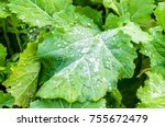 green leaf of winter rape.... | Shutterstock . vector #755672479