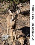 mule deer doe closeup | Shutterstock . vector #755675881