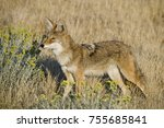 coyote foraging in the dry... | Shutterstock . vector #755685841