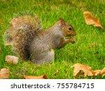 A Eastern Gray Squirrel ...