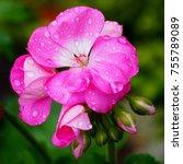Amazing Pink Geranium With...