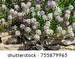 lobularia is a genus of five...