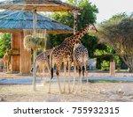 Giraffe Al Ain Zoo - Fine Art prints