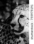 A Cheetah Portrait