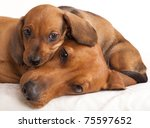 dachshund dog and puppy | Shutterstock . vector #75597652