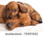 dachshund dog and puppy | Shutterstock . vector #75597652