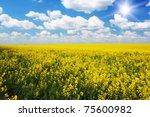 Yellow Field Rapeseed In Bloom...