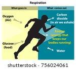 cellular respiration is an