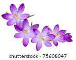 Fresh Purple Crocus Flowers On...